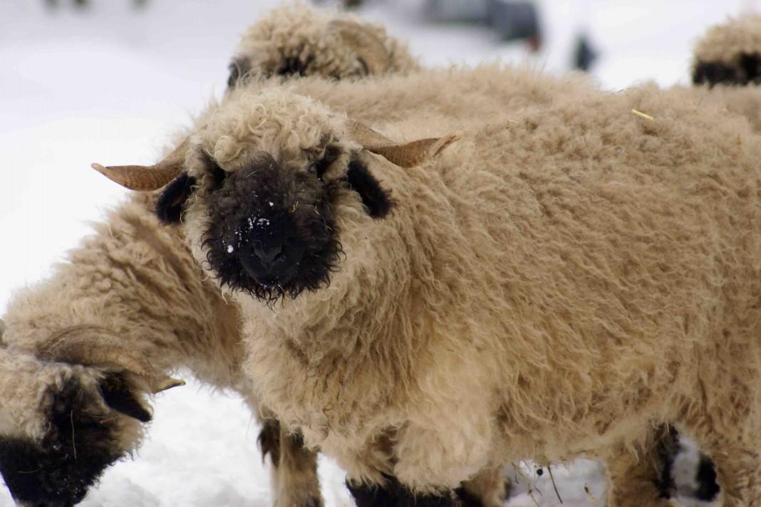 出典: |Wikipedia|https://en.wikipedia.org/wiki/Valais_Blacknose_(sheep)#/media/File:Valais_Blacknose_Sheep.jpg