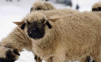 出典: |Wikipedia|https://en.wikipedia.org/wiki/Valais_Blacknose_(sheep)#/media/File:Valais_Blacknose_Sheep.jpg